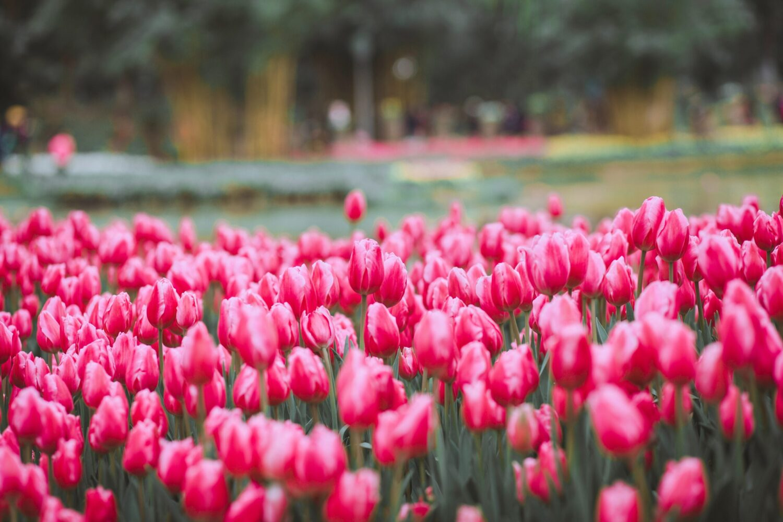 Het Gezinsleven - Uitstapjes - Bezienswaardigheden - De tulpenvelden bezoeken - Veld vol roze/rode tulpen