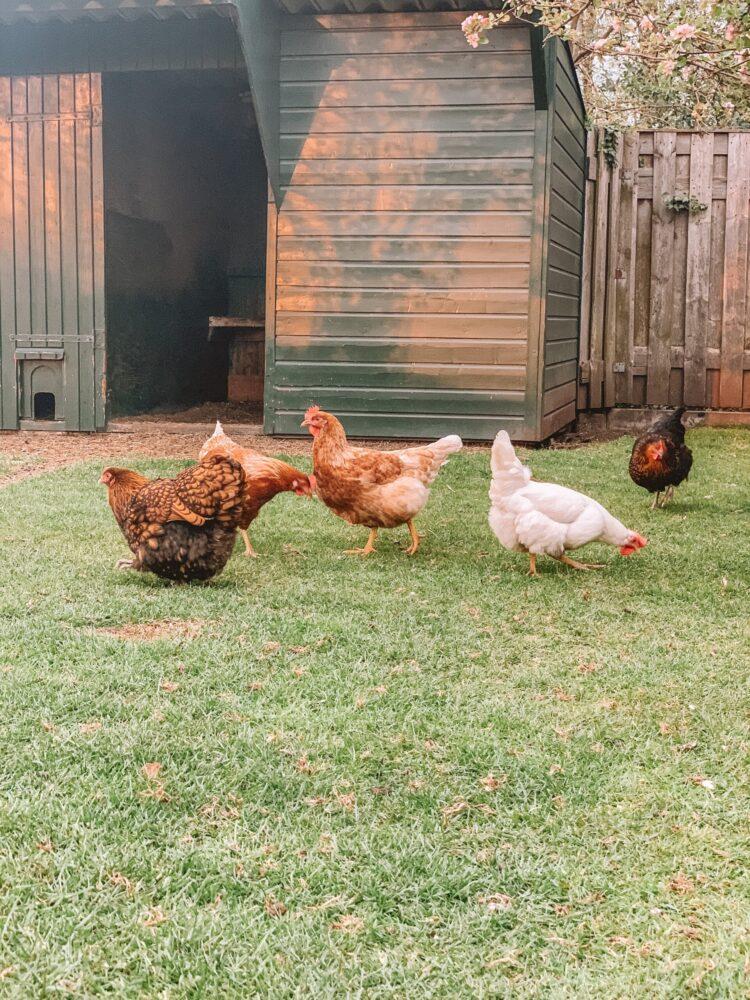 Het Gezinsleven - Lifestyle - Huishouden - Huisdieren - Hoe start ik met het houden van kippen? Alle voor- en nadelen. - Kippen aan het eten
