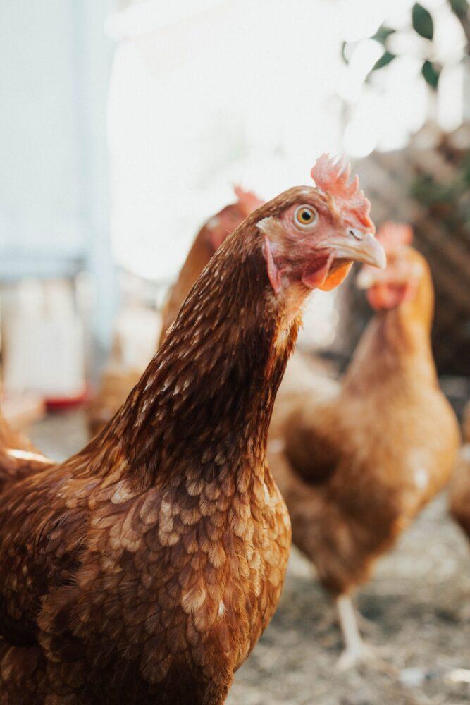 Het Gezinsleven - Lifestyle - Huishouden - Huisdieren - Hoe start ik met het houden van kippen? Alle voor- en nadelen. - Nieuwsgierige kip