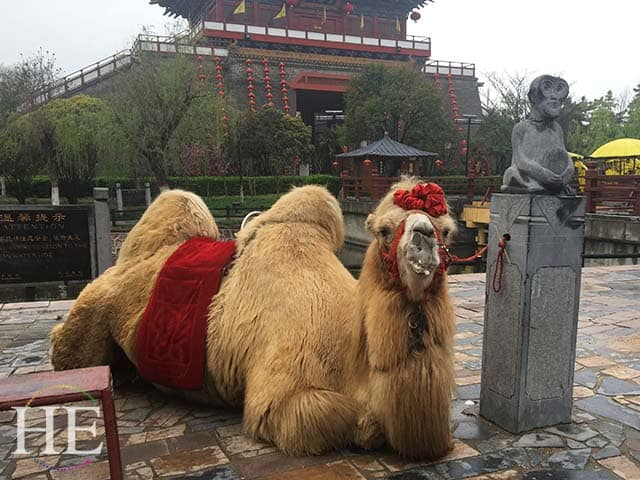content camel greets passersby in kaifeng city in china