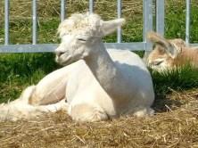 Alpaka in der Sonne