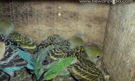 Cara Memberi Memilih Makanan Burung Parkit