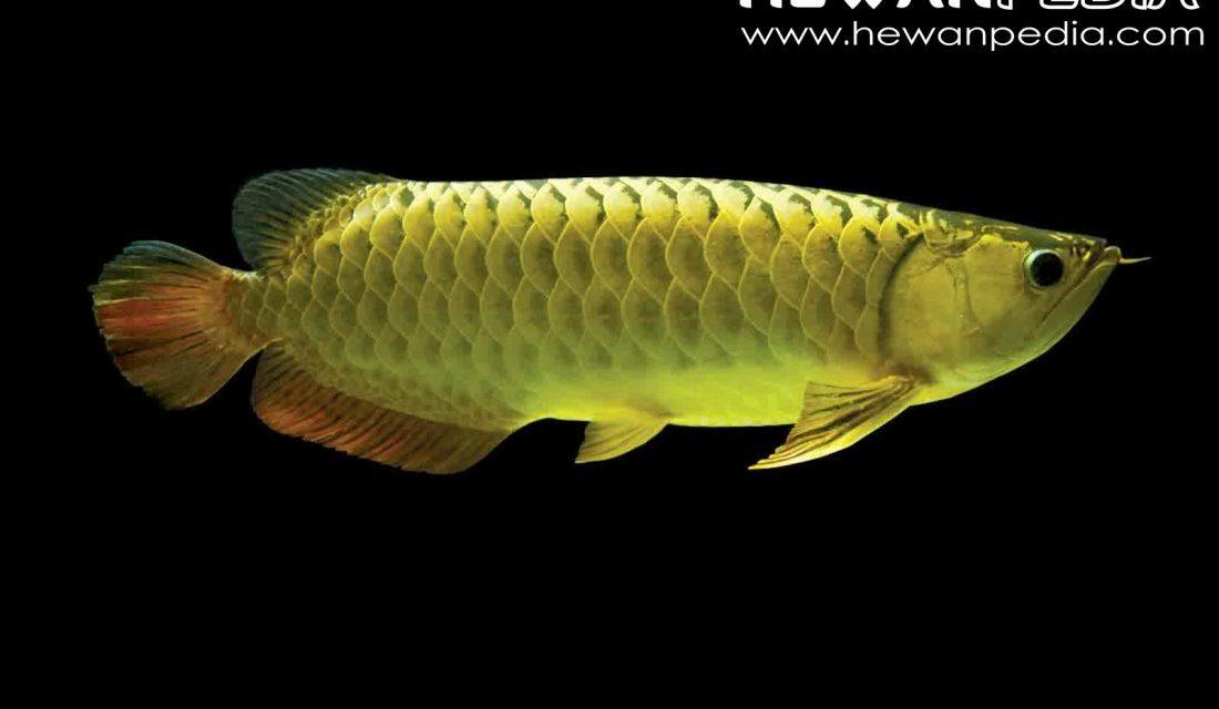 Cara Merawat Ikan Arwana dalam Akuarium