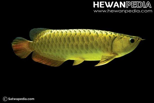 foto-arwana-golden-crossback