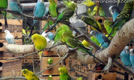Tips Membeli Burung Parkit