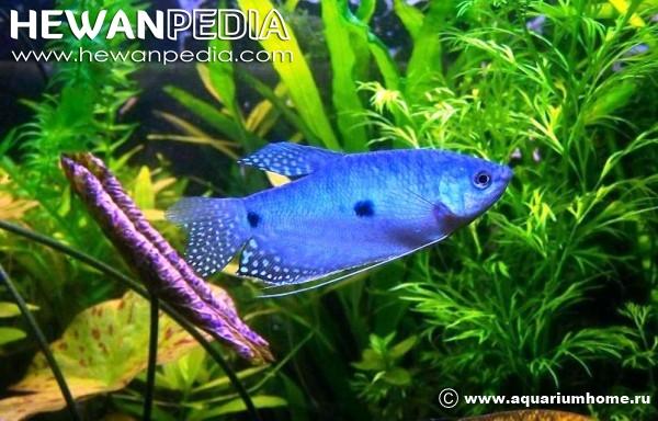 Ikan Gurame Sirip Biru