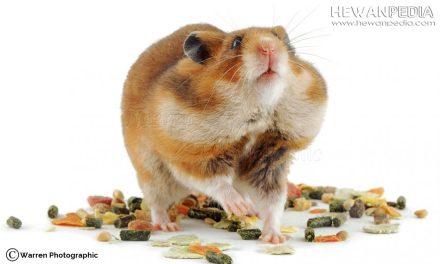 Cara Meracik Makanan Hamster yang Baik