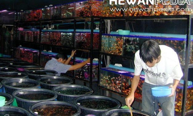 Peluang Usaha Ikan Hias
