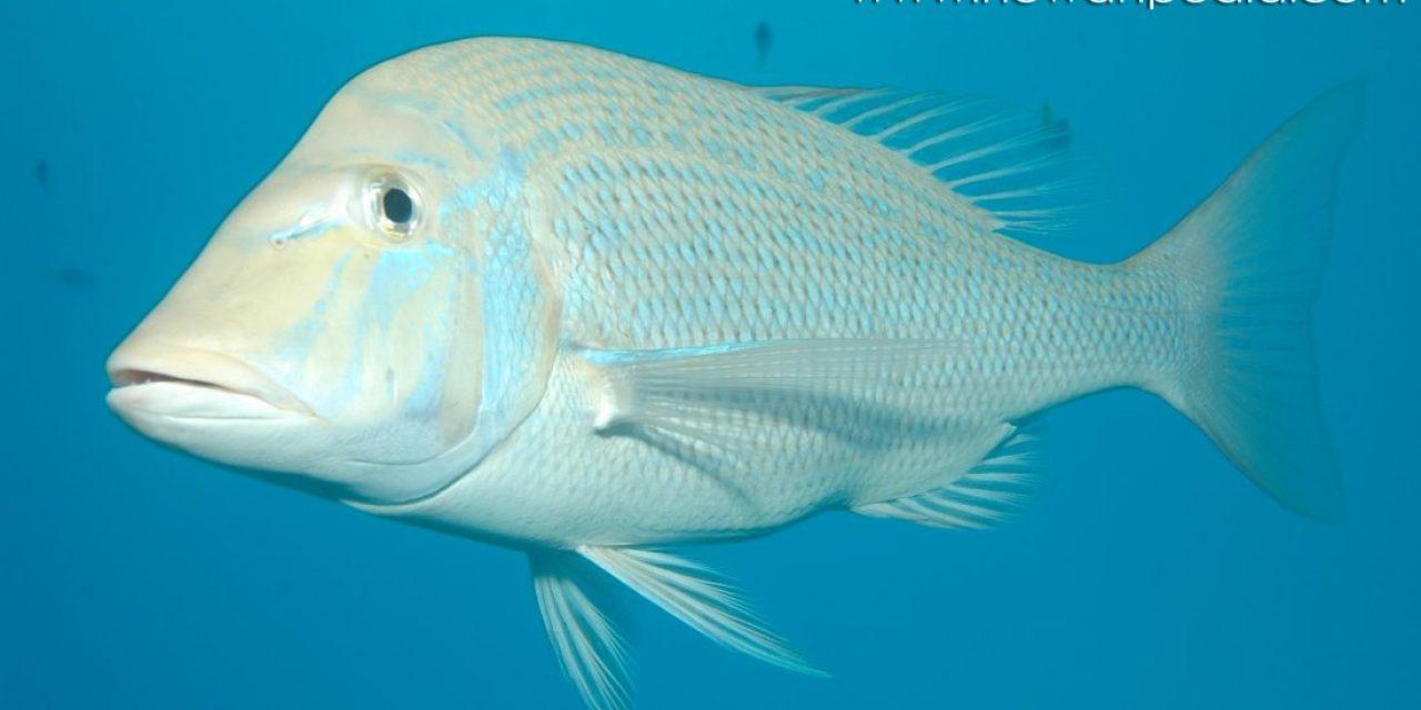 Ikan Landuk