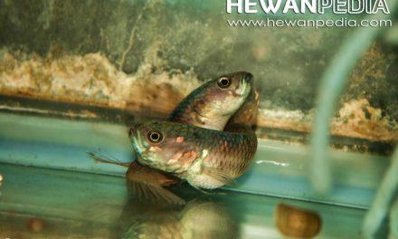 Cara Mengkawinkan Ikan Cupang