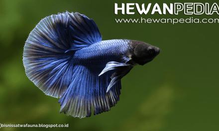 Mengganti Air Akuarium Ikan Cupang