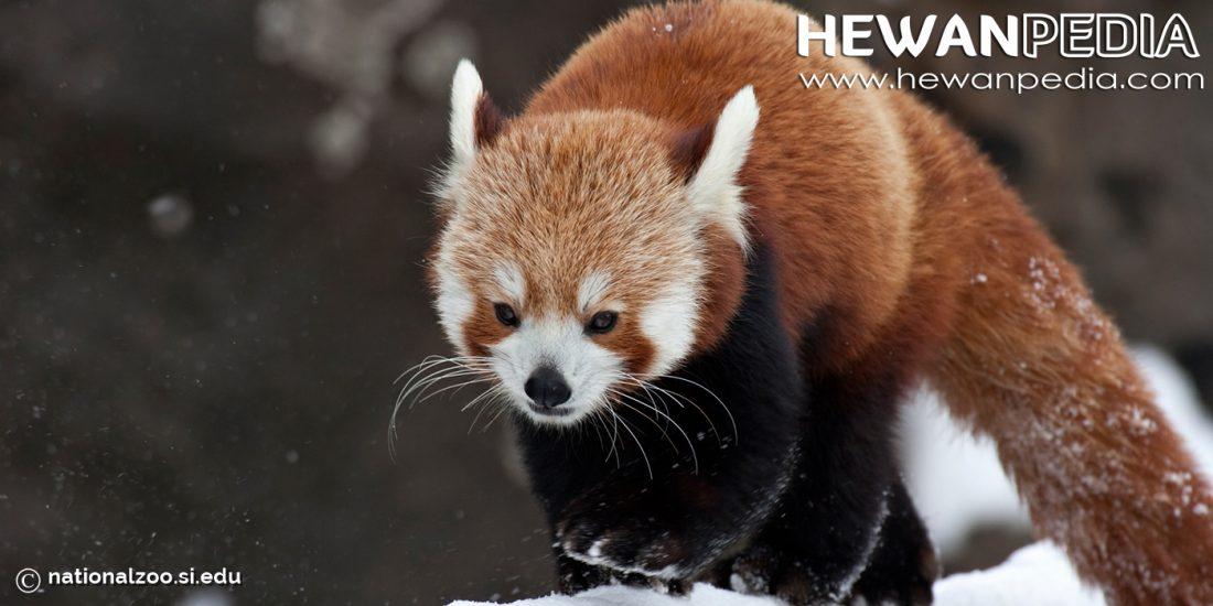 Panda Merah Hewanpedia