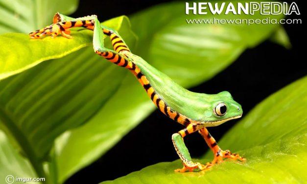 Katak Macan (Tiger Frog)