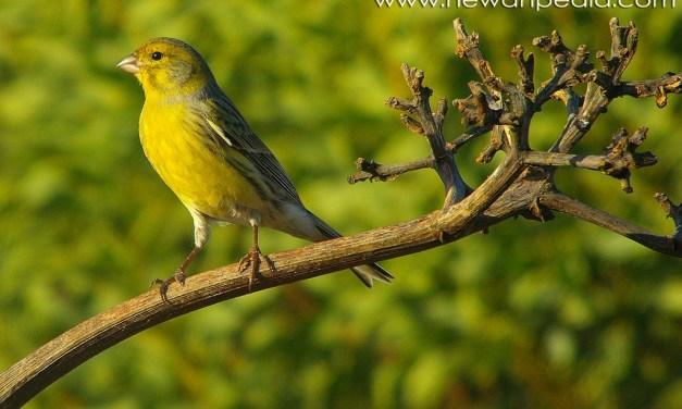7 Tips Berternak Burung Kenari