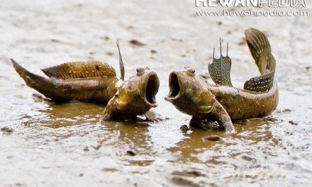 Ikan Gelodok atau Mudskipper