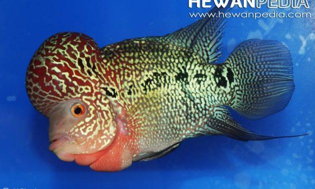 3 Cara Ampuh Menambah Jenong Pada Ikan Louhan