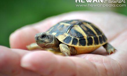 3 Cara Sederhana Memelihara Kura-kura Air Tawar untuk Pemula