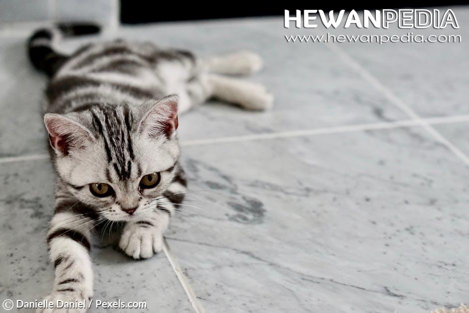 4 Cara Memelihara Kucing Kampung Agar Terawat Dan Nurut Hewanpedia
