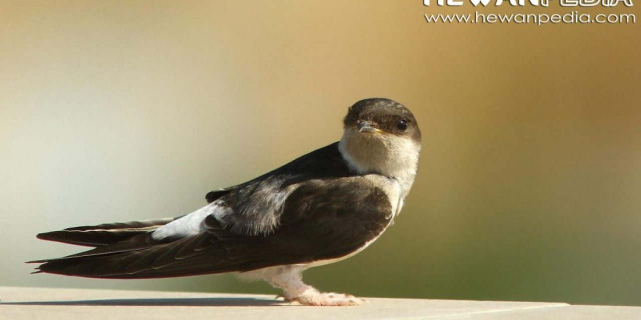 Mengenali Perbedaan Burung Walet dan Burung Sriti
