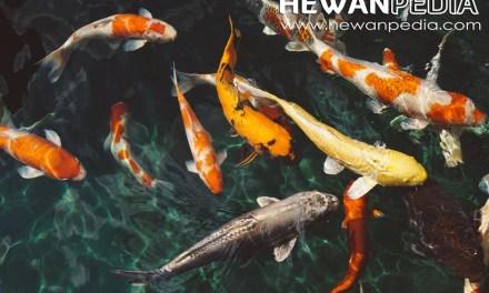6 Langkah Cara Memelihara Ikan Koi Untuk Pemula Hingga Mahir