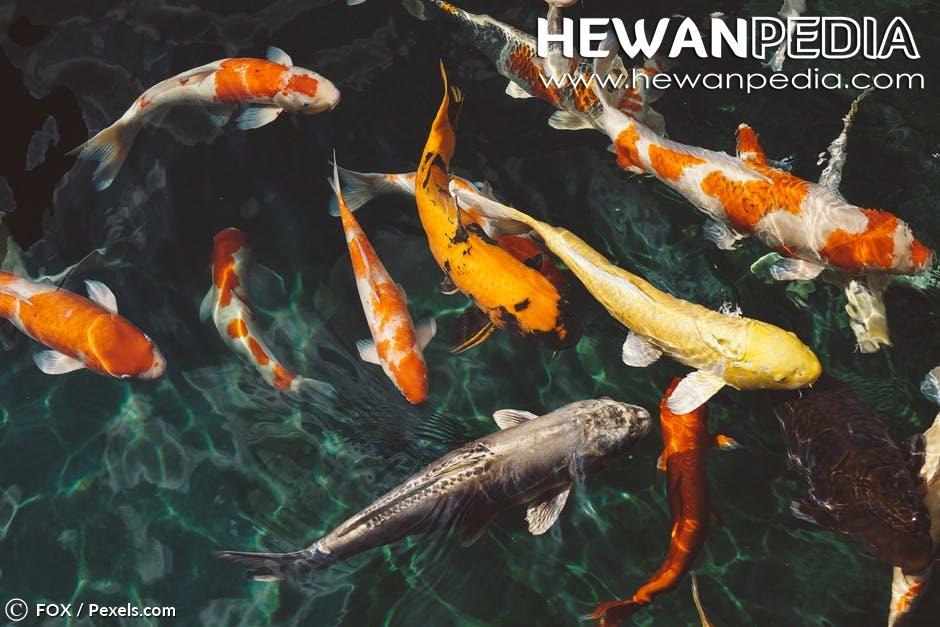 Cara Memelihara Ikan Koi Untuk Pemula Hingga Mahir