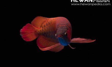 10 Ciri Fisik pada Ikan Arwana