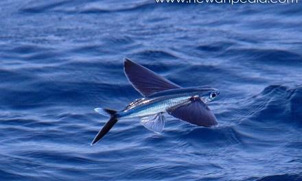 Ikan Terbang dan Fakta Menarik Mengenainya