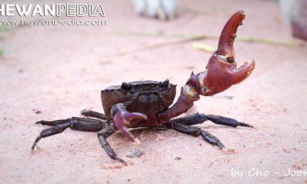 Kepiting Sawah atau Yuyu