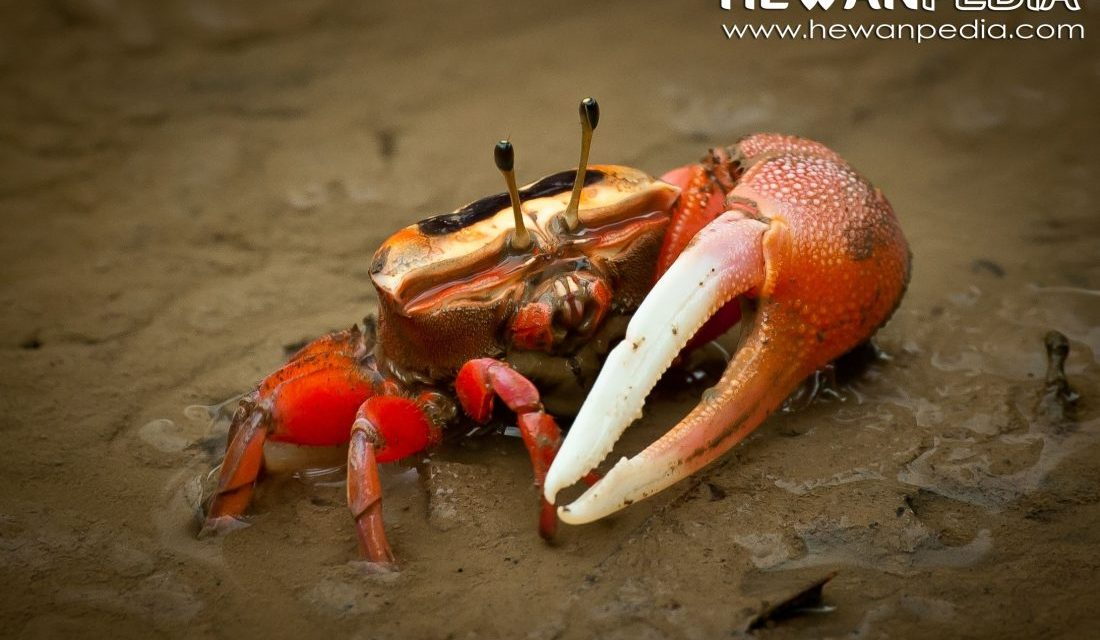 Kepiting Uca atau Kepiting Fiddler