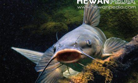Mengenal Morfologi dan Anatoni Bagian Tubuh Ikan Lele