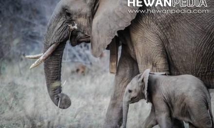 Berikut Jumlah Populasi Gajah Sumatera Tersisa Saat Ini