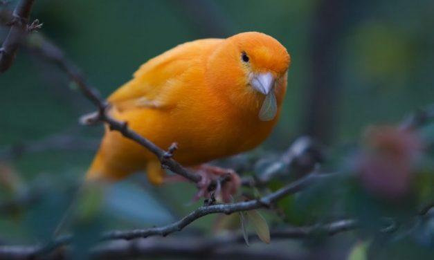 Foto Burung Kenari #1