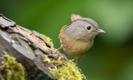 Burung Wergan Jawa