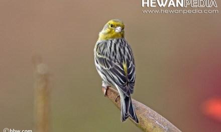 Cara memilih Burung Kenari Bahan di Ombyokan