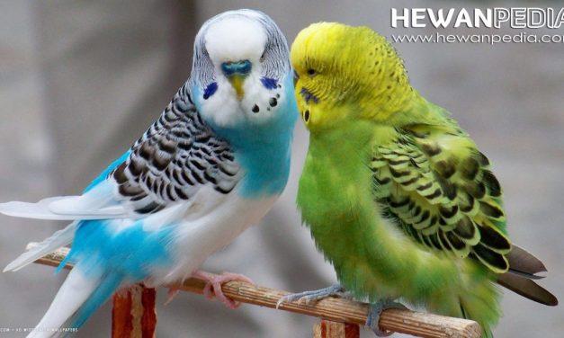Ingin Berternak Burung Parkit ? Lakukan 9 Persiapan Berikut
