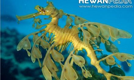 Naga Laut Derdaun, Kuda Laut Tercantik di Lautan