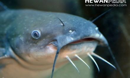 5 Tips Tata Cara Berteranak Ikan Lele Dumbo