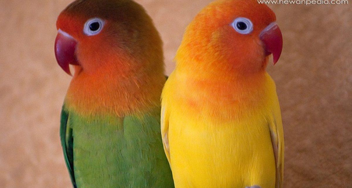 Panduan Terlengkap Cara Merawat Lovebird