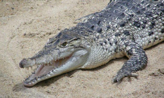 Buaya Irian(Crocodylus novaeguineae)