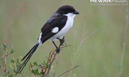 Asupan Gizi yang Dibutuhkan Bagi Burung Pentet atau Cendet