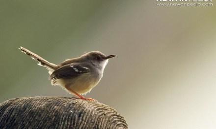 Racikan Rahasia Pakan Burung Ciblek agar Cepat Gacor