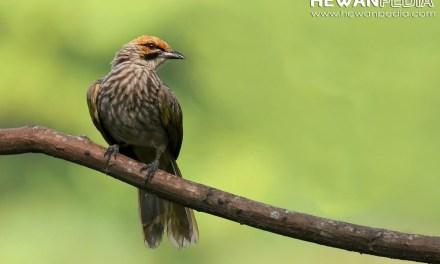 6 Tingkatan Kualitas Suara Burung Cucak Rawa