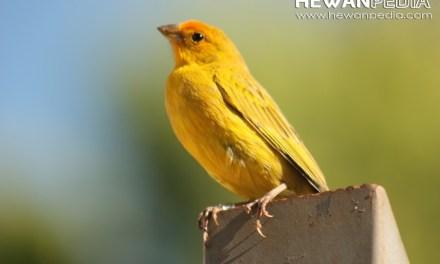 Ciri dan Cara Memilih Burung Kenari Bakalan Baik