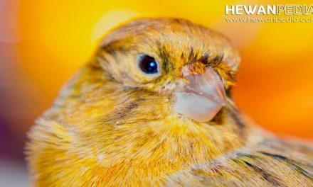 5 Cara Sederhana Mengatasi Burung Kenari yang sedang Stress