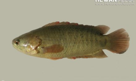 Ikan Botok atau Ikan Puyu