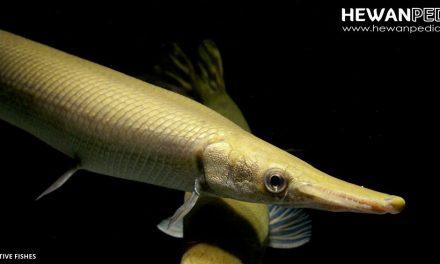 Ikan Buaya ( Alligator Gar )