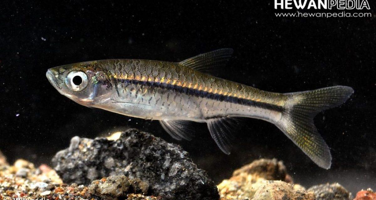 Ikan Depik atau Ikan Rasbora