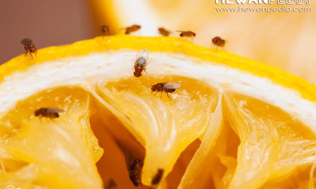 10 Cara untuk Mencegah Datangnya Lalat Buah