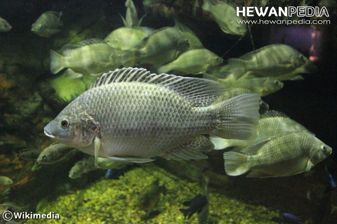 10 Ciri Utama Ikan Mujair Hewanpedia