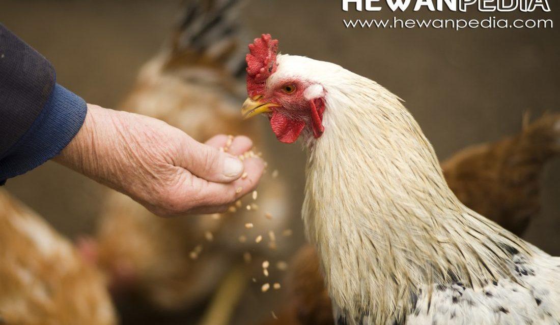 3 Jenis Makanan Ayam Aduan yang Bagus Untuk Menambah Stamina